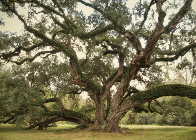 7 brothers oak-1