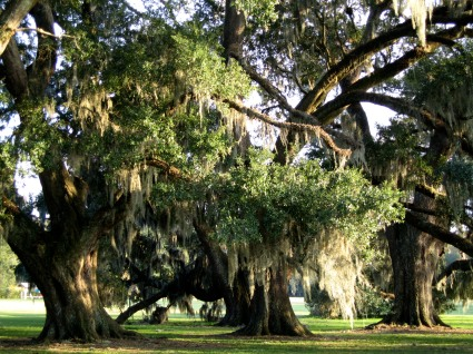 Academy of the Sacred Heart and St. Charles College live oaks