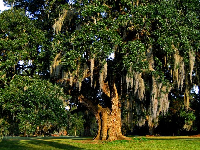 Live oak, Academy of the Sacred Heart - Grand Coteau, Louisiana