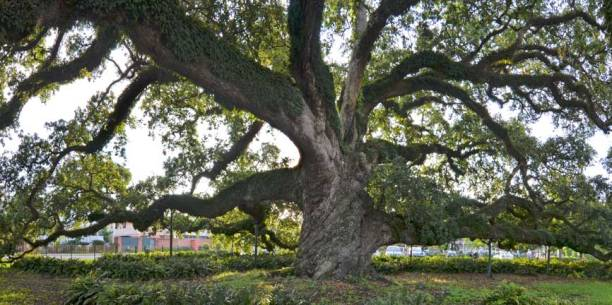"St. John Cathedral Oak – 2nd Vice President, Live Oak Society - girth of 29' 6"" measured in May 2015"