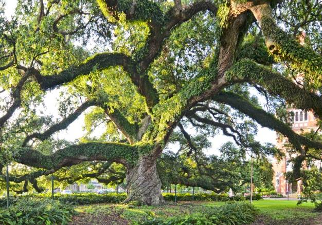 St. John Cathedral Oak - #33 of the original 43 Live Oak Society member trees