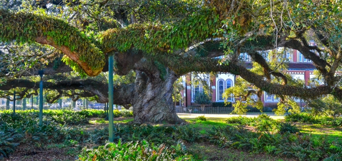 Cathedral Oak_3642-Pano