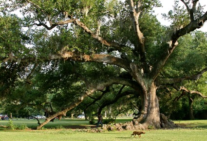 Tree of Life oak