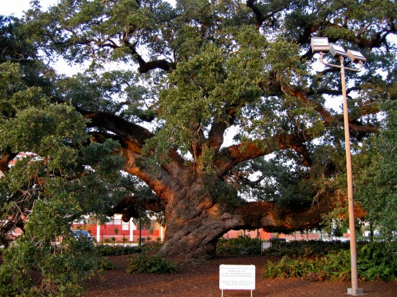 Cathedral Oak