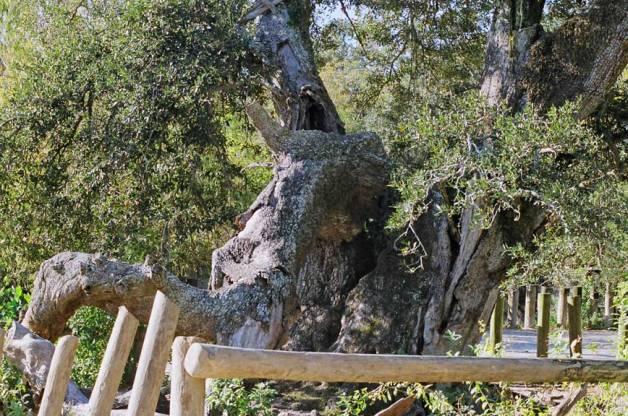 Remains of Martha Washington Oak in Audubon's Rhino habitat