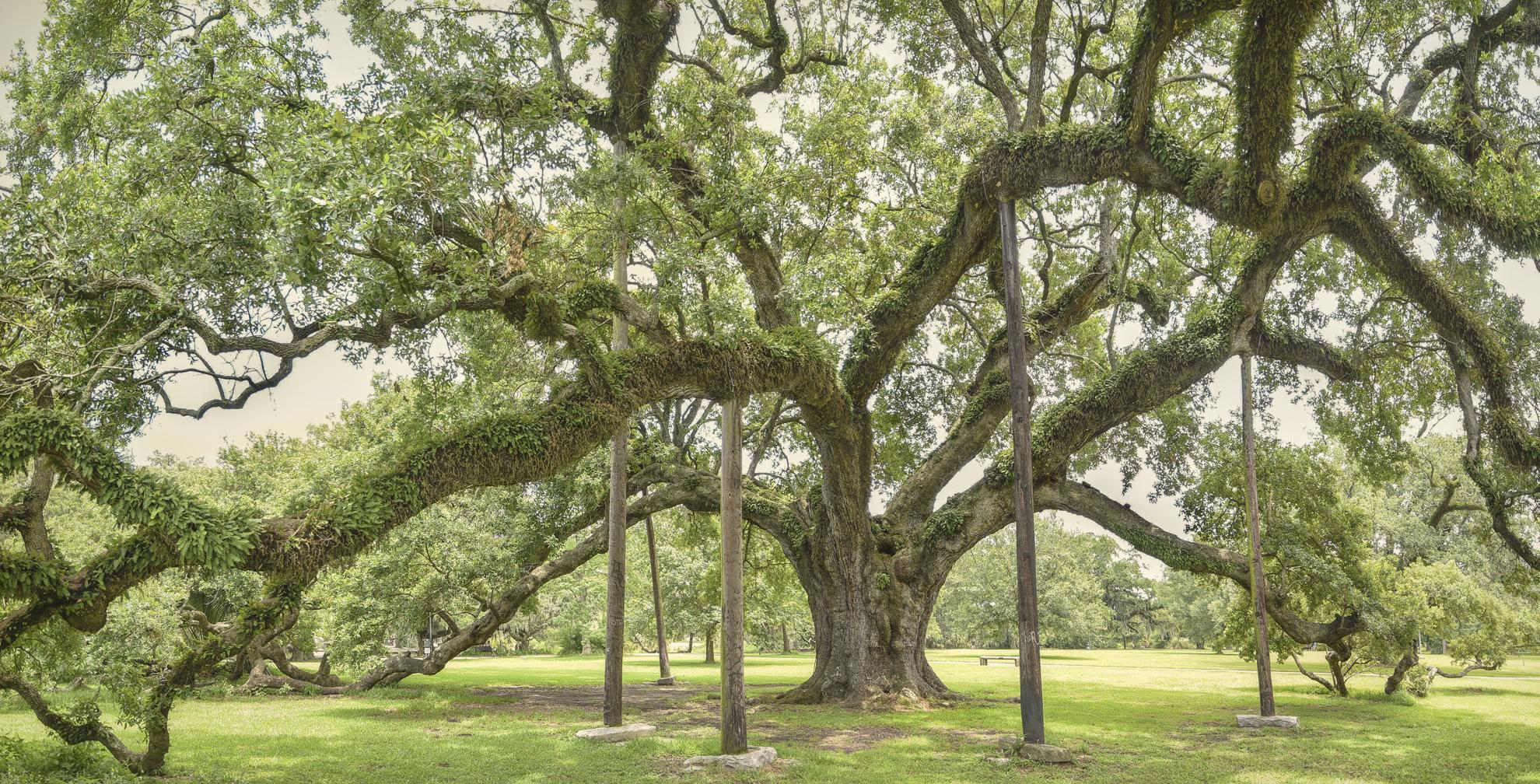 McDonogh Oak color 2