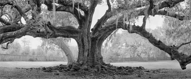 Etienne de Boré oak - Audubon Park, New Orleans