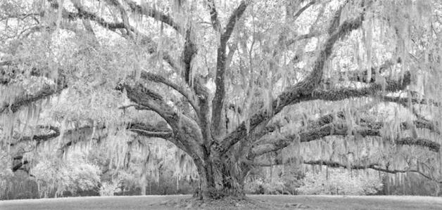 Throne Oak, near New Iberia, LA