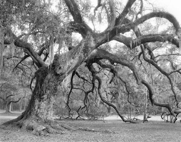 Fontainebleau Oak #1