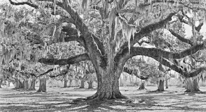 Fontainebleau Oak #2