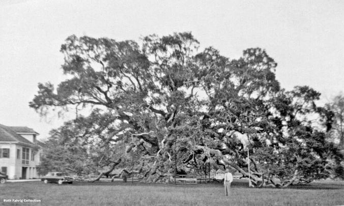Locke-Breaux Oak circa 1956
