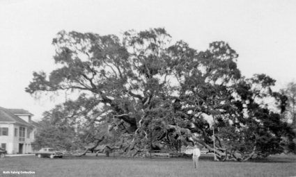 Locke-Breaux Oak circa 1956_72 dpt