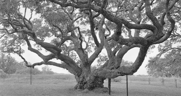 Goose Island Oak, near Rockport, TX.