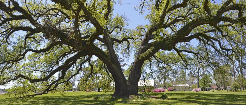Randall oak 3