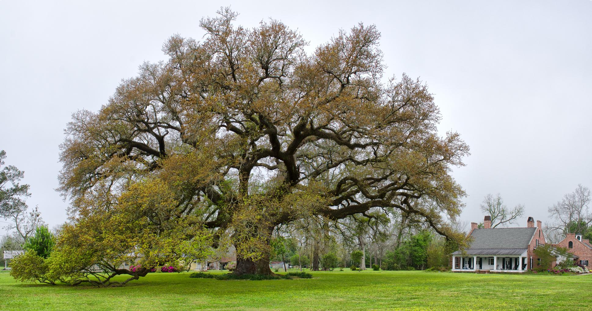 Randall Oak and home study 1.jpg