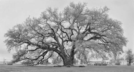 Randall-Oak-pano-b&w_3_blog