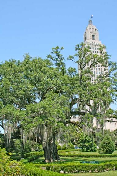"Thomas Boyd Oak and state capital; 20' 6"" (#38 of 43) tree fell down in Hurricane Gustave and has been removed."