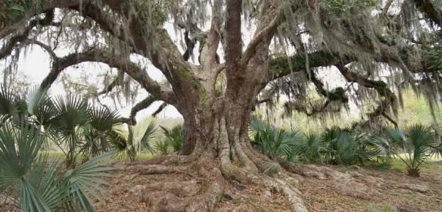 "Avery Island Oak number 2; 24' 1"" (#21 of 43)"