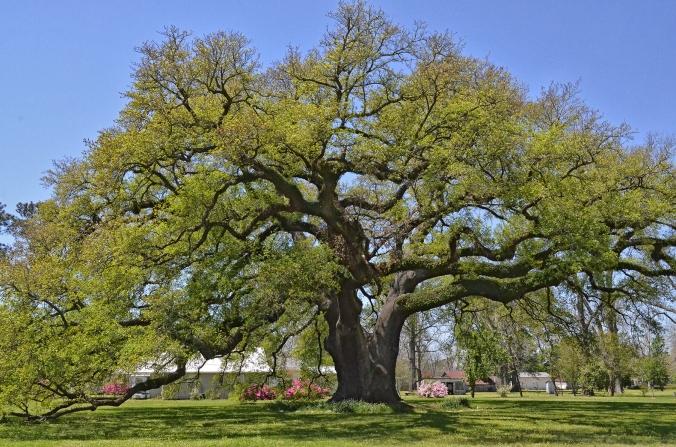 Randall oak 1 copy