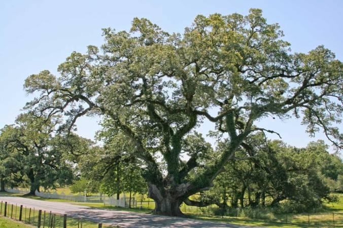 Stonaker-Oak-#1
