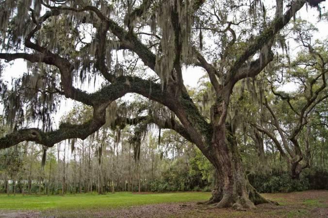 Grover Cleveland Oak, Avery Island, study 2
