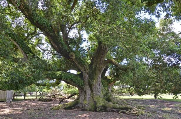 #1 Boudreaux Friendship Oak, Scott, LA (31' 10