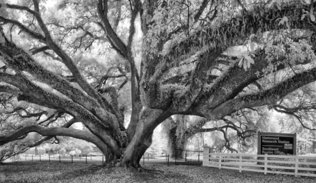 Edna Szymoniak Oak, black and white study 2