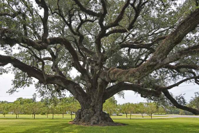 Grenier Oak – near Thibodaux, LA; #29 on list of original Society inductee members
