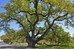 Stonaker Oak – near New Roads, LA; 29 ft. 6 in; #16 on original Live Oak Society inductee list.