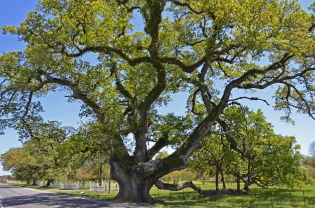 Stonaker Oak – near New Roads, LA; 29 ft. 6 in; #16 on original Live Oak Society inductee list.