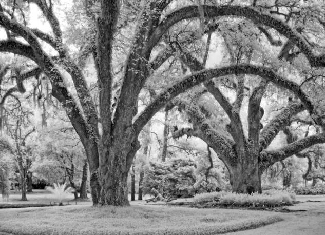 Hudson Oaks; black-and-white infrared study of two other Live Oak Society trees on Hudson property.