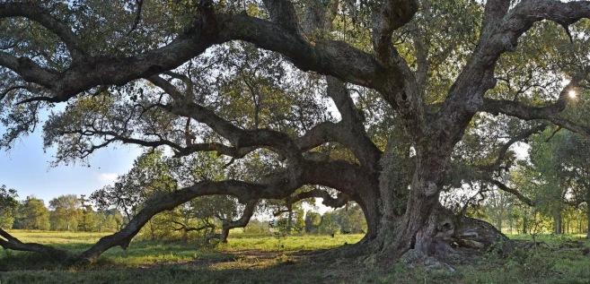 La Belle Colline Oak, color study 1
