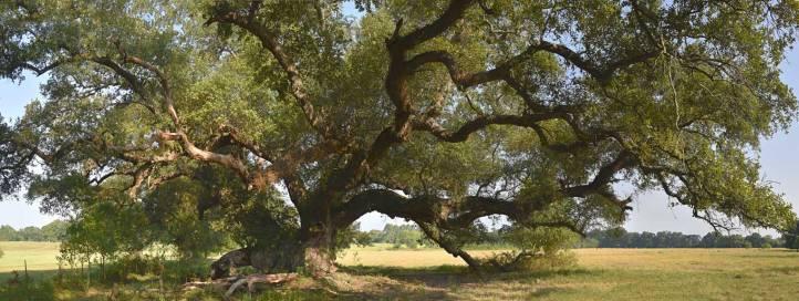 "La Belle Colline Oak, color study 2, 34'-6"" in circumference"