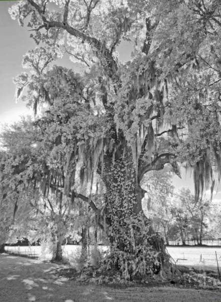 Rebekah Oak, infrared black and white study 4