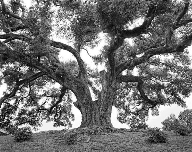 Bayou-Gross-Tete-Oak-1_adj