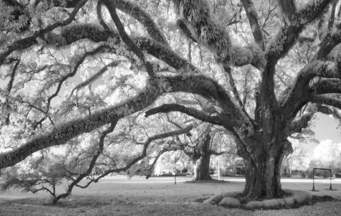 Constant-oaks_December-2015