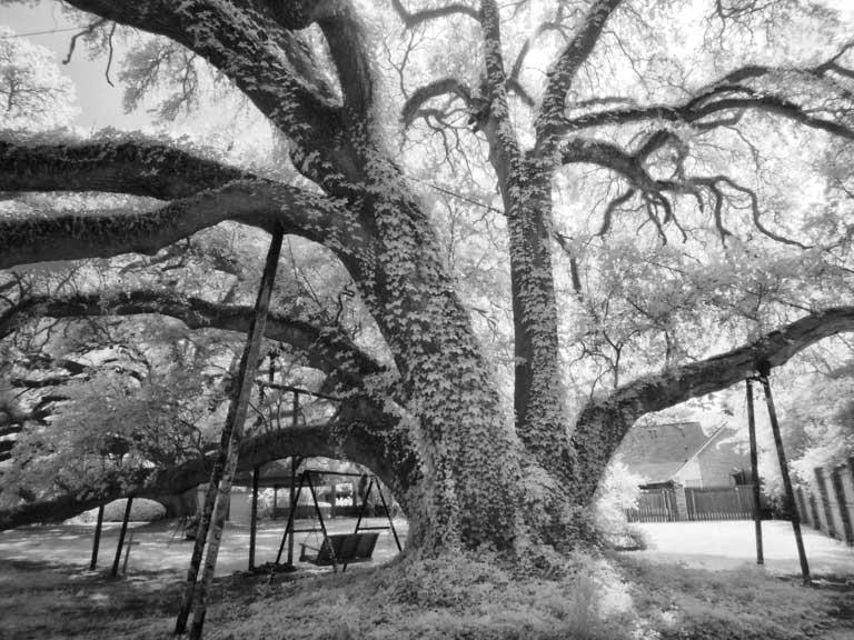 Governor's-oak-1