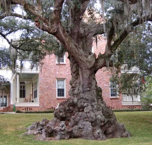 lumpy-oak-St