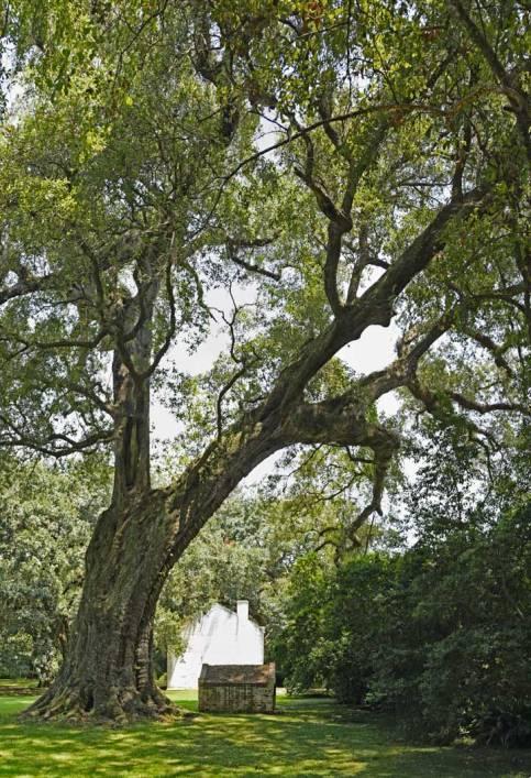 Mays-Oak-3
