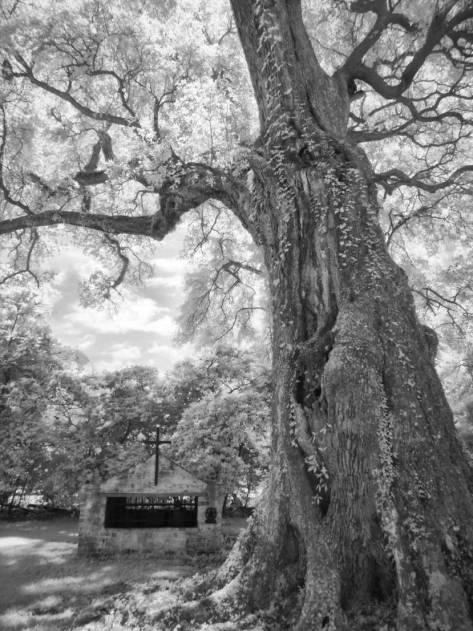 Mays-Oak-study-8