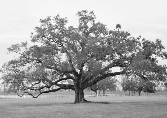 oak-alley-oak-in-west-field