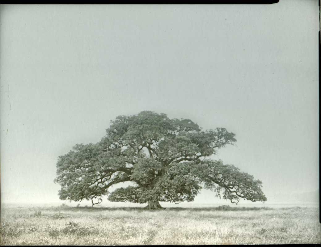 icon-lone-oak-1