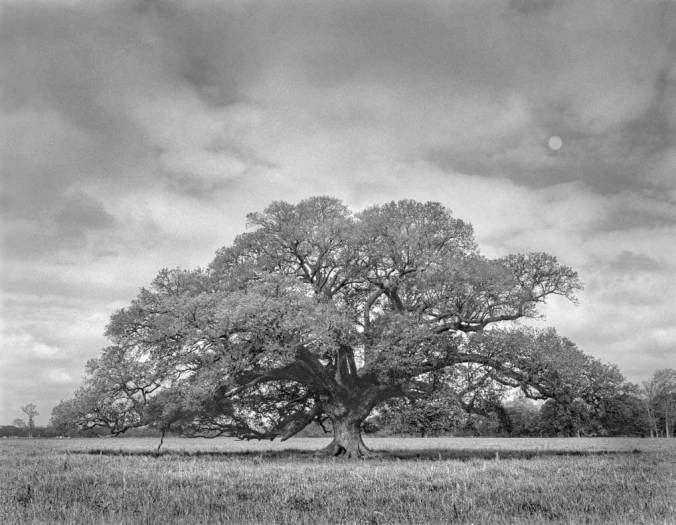 Lone-oak-and-moon_8x10