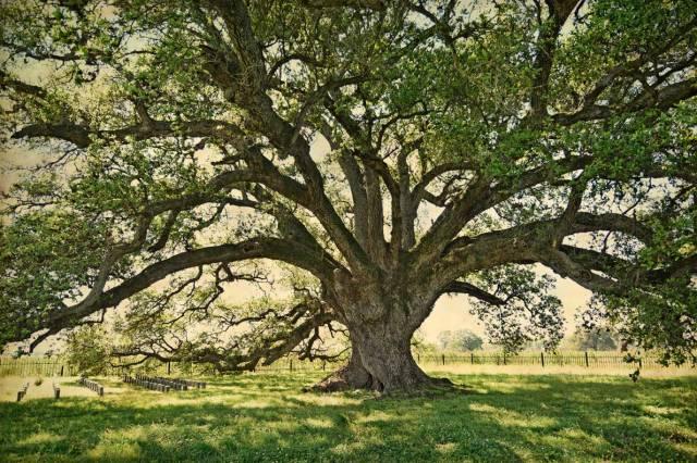 Lone-Oak-color-1