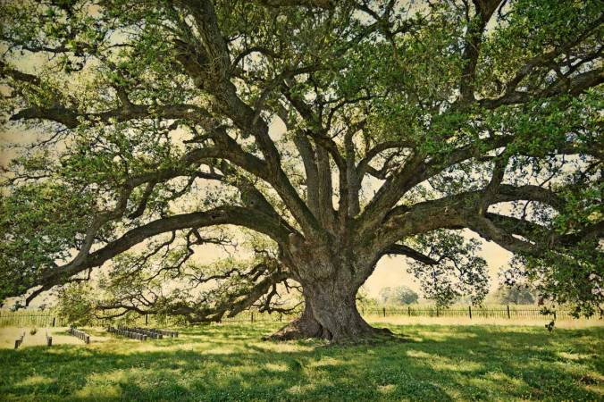 Lone-Oak-color-1