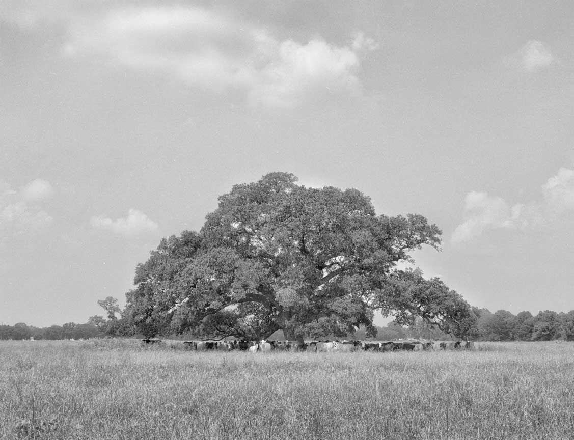 Lone_oak_with_cows-1-Edit
