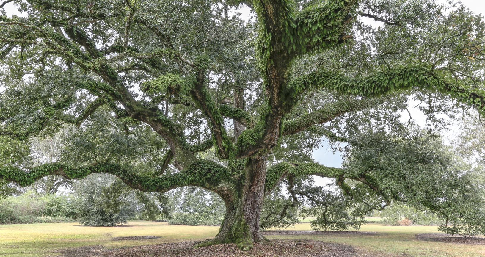 beauregard-oak-11_8
