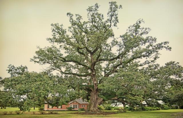 boudreaux-oak-study-2-copy