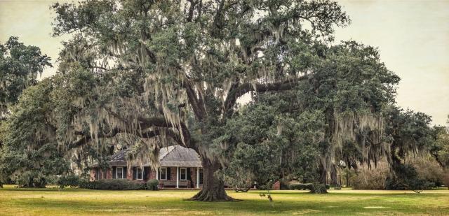 leighton-plantation-oaks-1