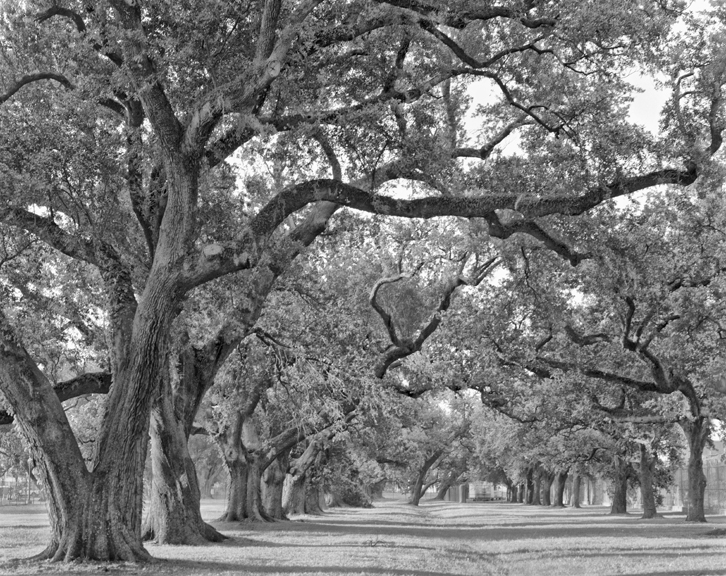 De la Ronde oak allee, study 1
